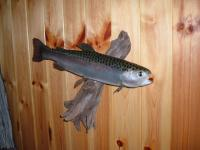 Rainbow Trout 2014