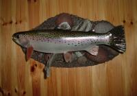 20 Inch Replica Rainbow Trout  For Sale 425 Plus Tax